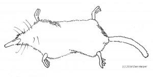 Shrew-mole, Neurotrichus gibbsii