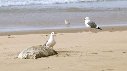 Larus occidentalis eating a dead Phoca vitulina; Larus delawarensis in the distance