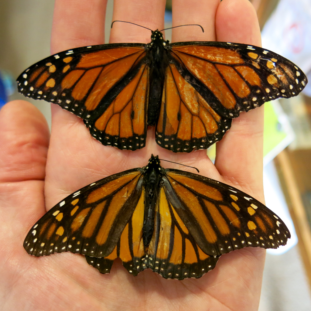 Male and female Monarch
