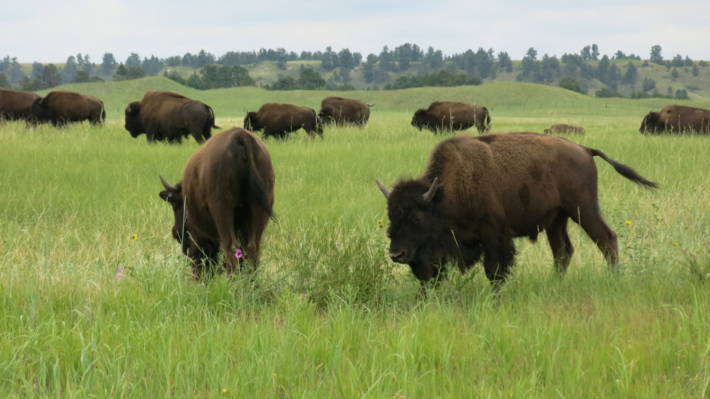 Bison, Fort Niobrara NWR, Neb