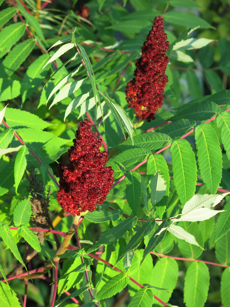 Staghorn Sumac, clusters of fruit