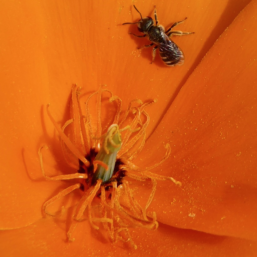 A Halictus species bee in a California Poppy
